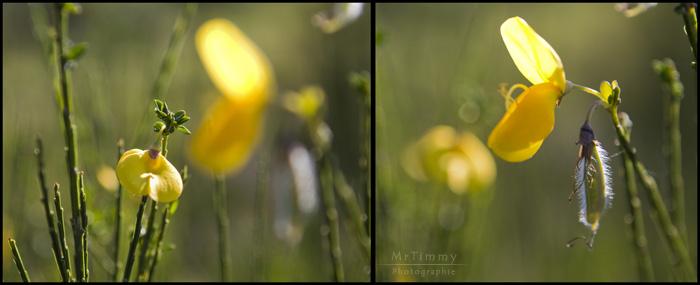 http://la-rose-noir.chez-alice.fr/BlogPhotoLoireAtlantique/Cytisus_scoparius_nom_latin_genet_a_balais_arbuste_fleurs_jaunes_mrtimmy_photographie_loire_atlantique_photo.jpg