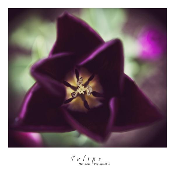http://la-rose-noir.chez-alice.fr/BlogPhotoLoireAtlantique/Tulipe_frond_de_mer_remblay_de_la_baule_mrtimmy_photographe_loire-atlantique_photographie.jpg